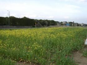 道の駅オライはすぬま・菜の花
